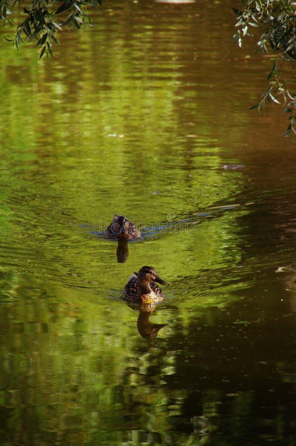 2 утки на воде стоковые изображения rf