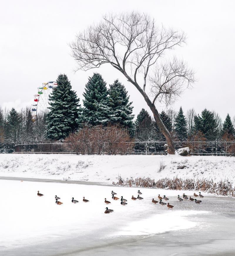 Утки на озере в парке стоковое изображение