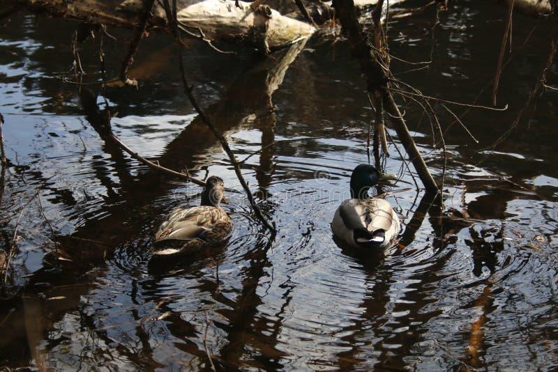 Утки на реке стоковые изображения rf