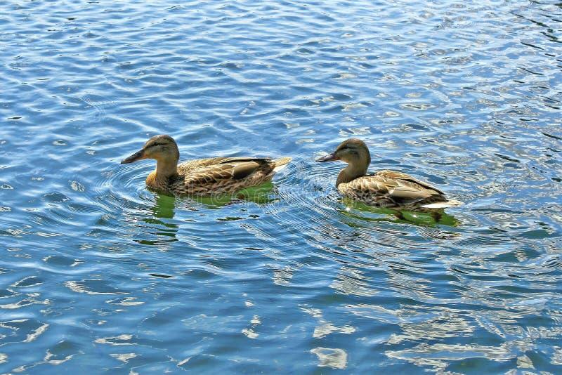 2 утки плавают на пруде во дне лета солнечном стоковые фото