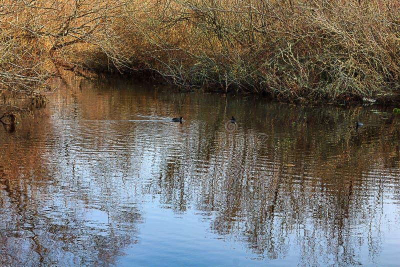 Утки плавая около кустов стоковая фотография