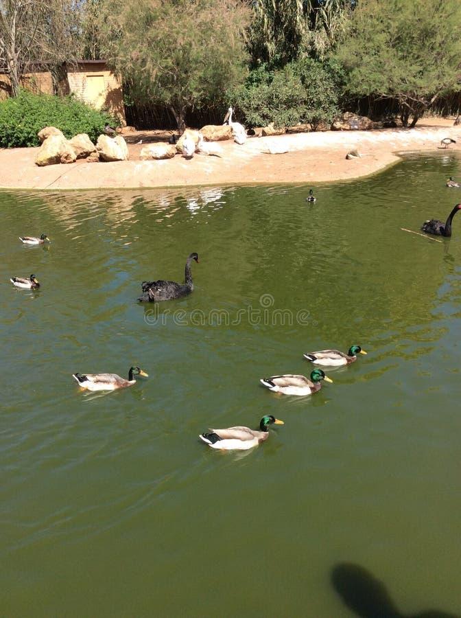 Утки плавая на реке стоковое фото rf