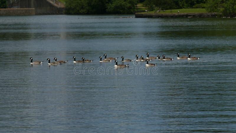Утки свертывая вниз озеро беспечальное стоковое изображение rf
