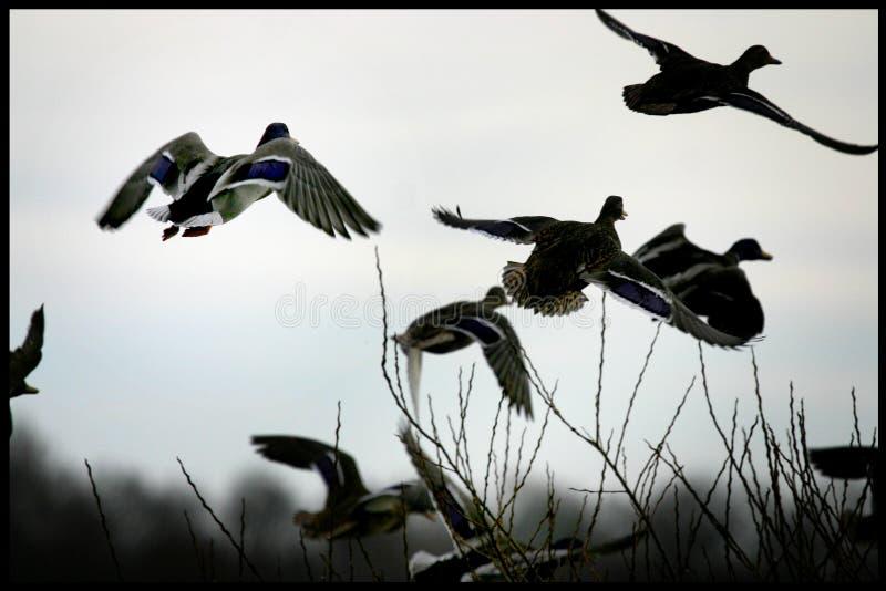 Утки собирая на озере в Ютландии, Дании стоковая фотография