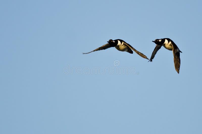 2 утки с капюшоном Merganser летая в голубое небо стоковое фото