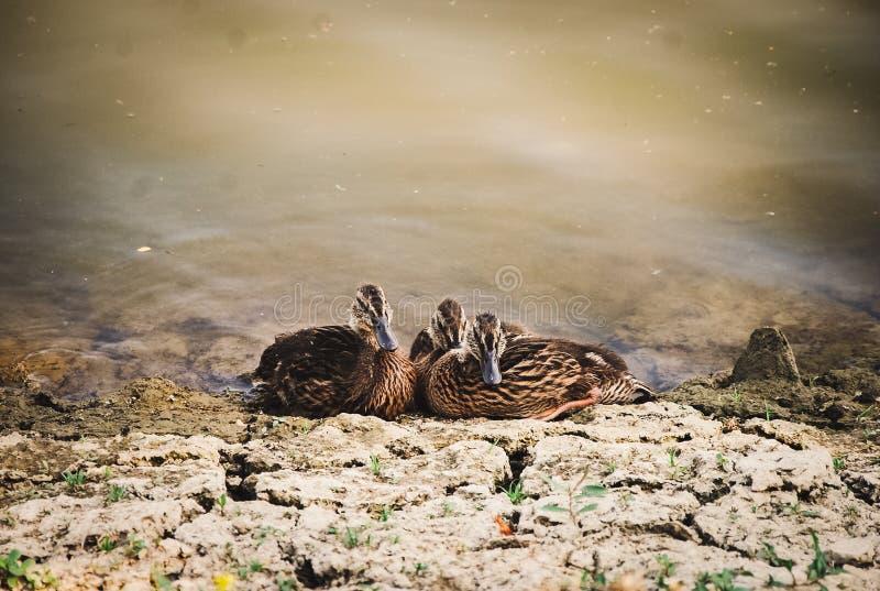 Утки стоковое фото