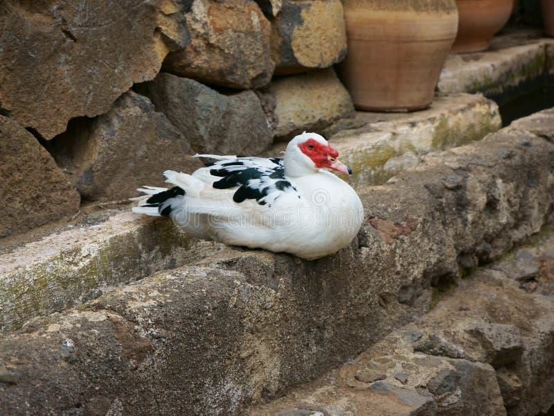 Утки Muscovy сидят на каменной границе стоковое изображение rf