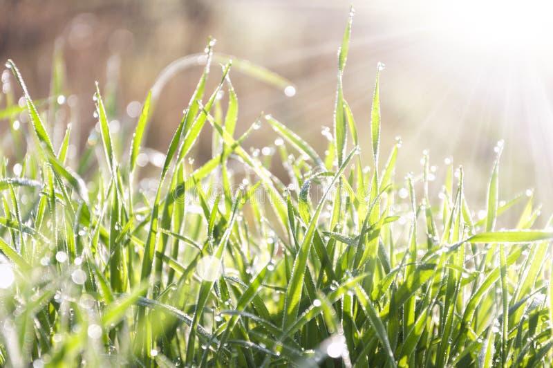 Утро весны, роса на зеленой траве стоковое фото rf