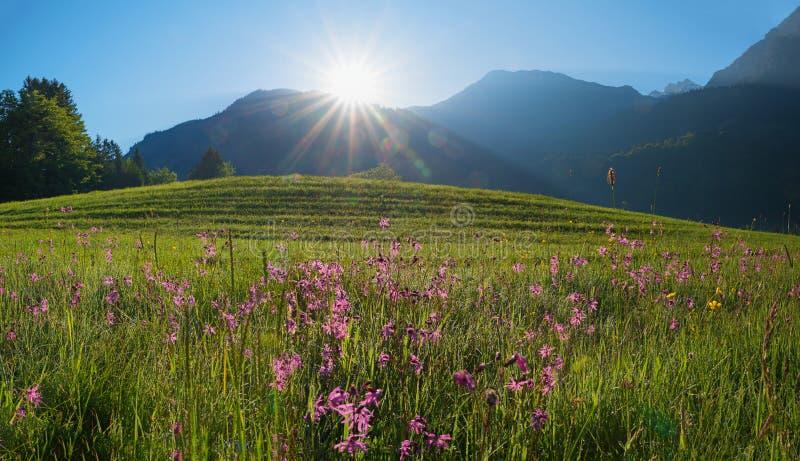 Утро в горных вершинах allgau утро должное в луге lychnis стоковое изображение rf