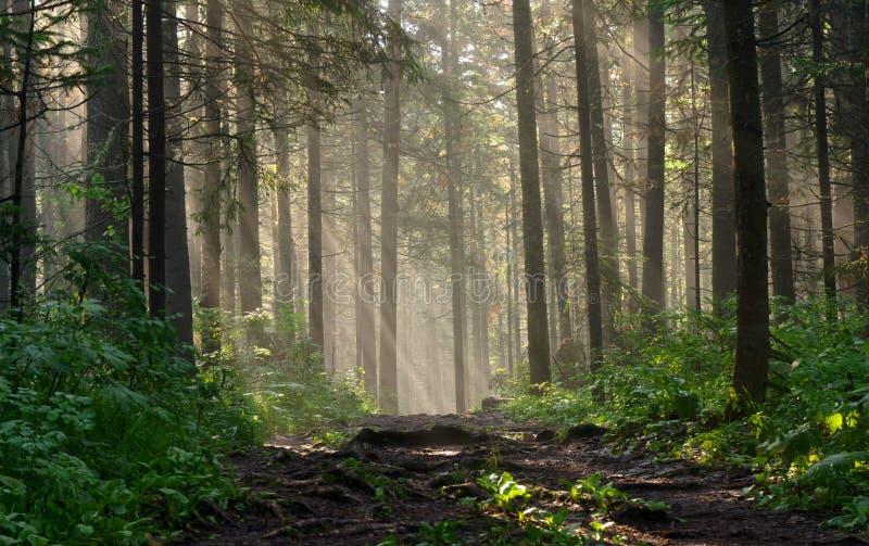 Утро в глубоком лесе стоковое изображение