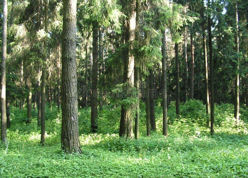 Утро в сосновом лесе стоковые изображения rf