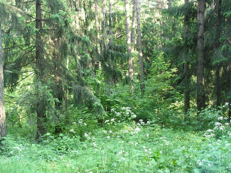 Утро в сосновом лесе стоковое изображение rf