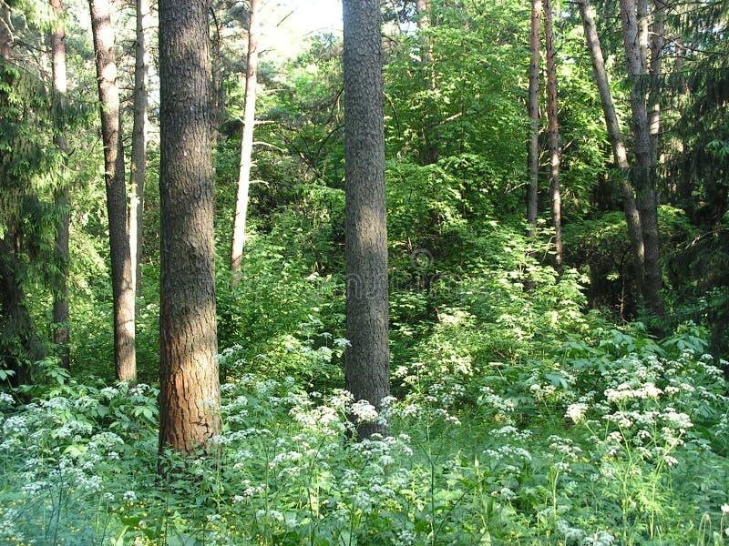 Утро в сосновом лесе стоковые изображения