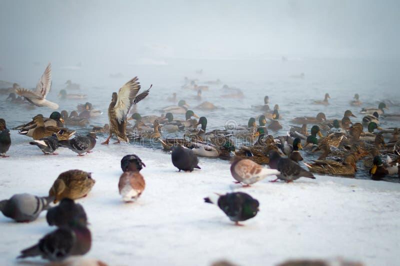Утро зимы на банках территория Енисея, Krasnoyarsk Frost -35 градус цельсий стоковые фото