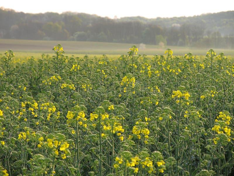 Утро поля рапса весной стоковые фотографии rf