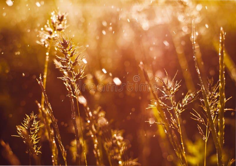 Download утро травы росы предыдущее стоковое фото. изображение насчитывающей ботаническую - 40581848