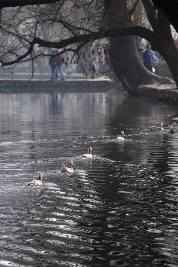 Утро Hongcun: утка заплывания стоковое изображение rf