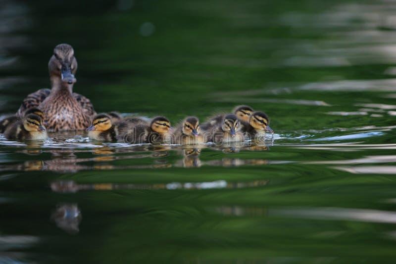 Утята кряквы на озере стоковые фотографии rf