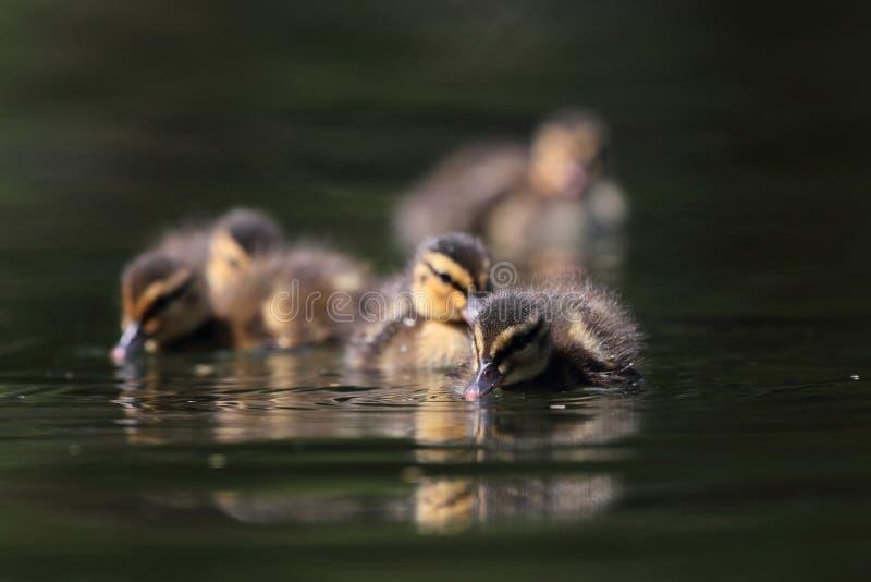 Утята кряквы на озере стоковое фото rf
