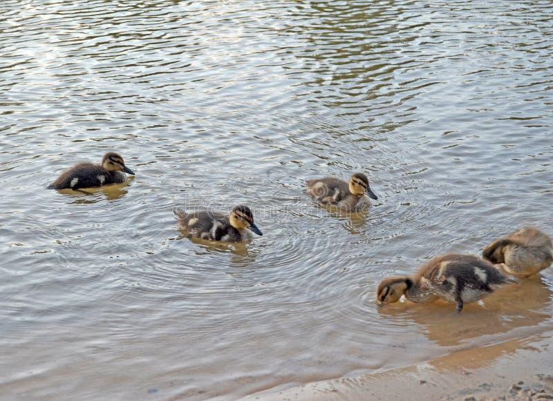 Утята на озере в естественной среде обитания стоковое фото rf