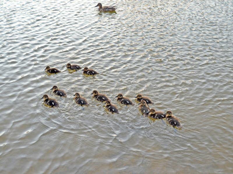 Утята на озере в естественной среде обитания стоковое фото