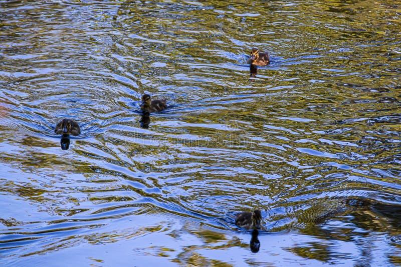 4 утят младенца плавая совместно на струясь сини и зеленом пруде стоковая фотография