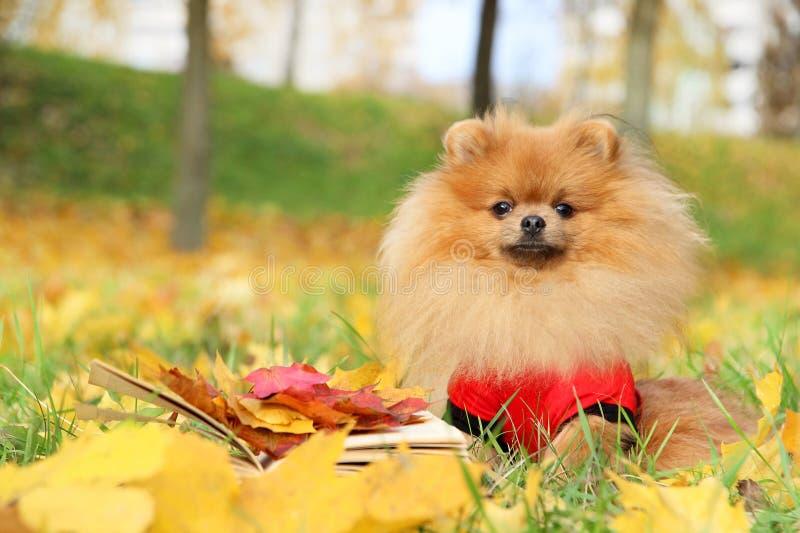 Ухищренная собака с книгой Собака Pomeranian в парке осени с книгой стоковая фотография
