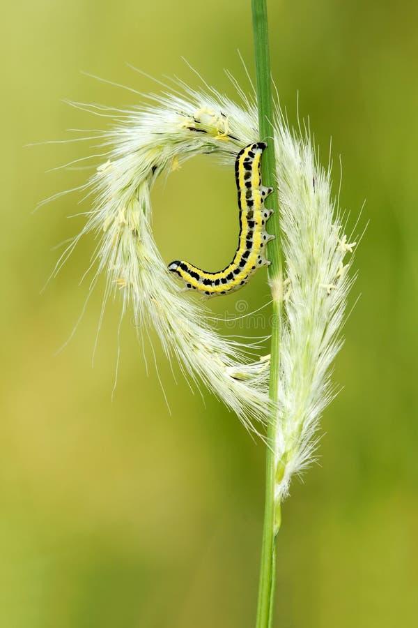 Ухо и гусеница травы стоковое фото rf