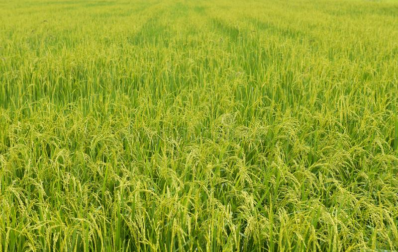 Ухо поля риса стоковые фотографии rf
