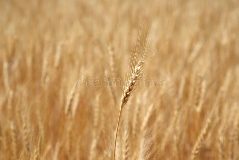 Ухо пшеницы в пшеничном поле стоковые изображения rf