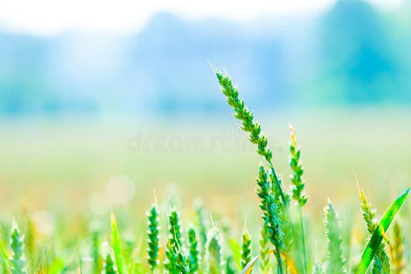 Ухо с пшеничным полем в стоковое фото rf