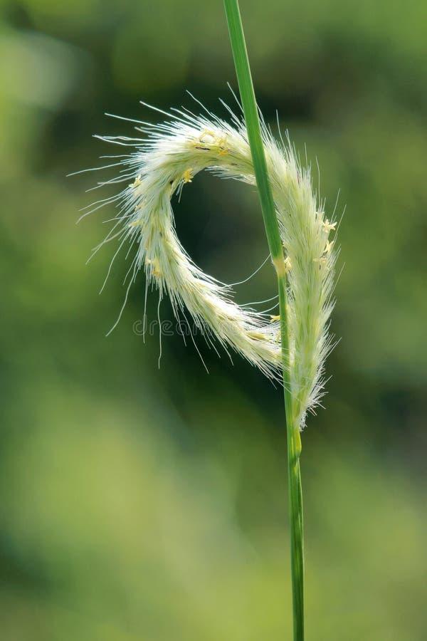 Ухо травы стоковая фотография