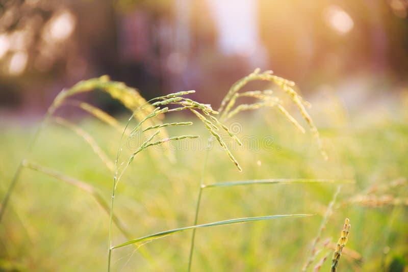 Ухо фермы риса стоковое изображение