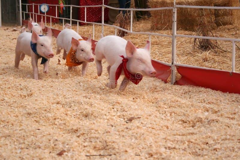 участвовать в гонке свиней стоковые изображения rf