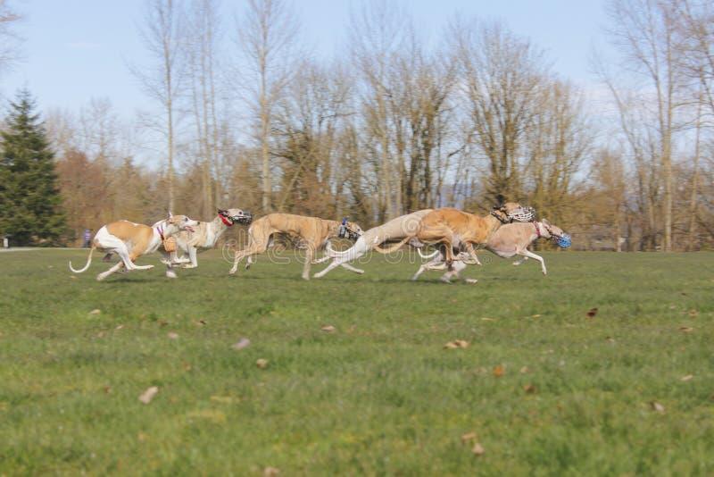 участвовать в гонке собак стоковое изображение rf
