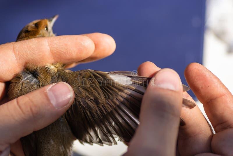 Ученый регулируя птицу, для того чтобы увидеть свой возраст, во встрече кольцевания птицы Евроазиатское atricapilla Сильвия black стоковая фотография