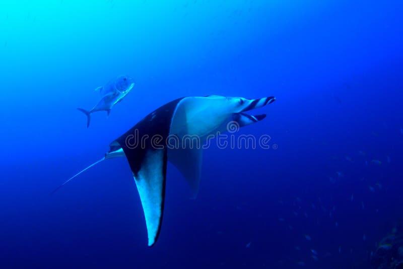 луч океана manta Мальдивов atoll addu индийский стоковое фото rf