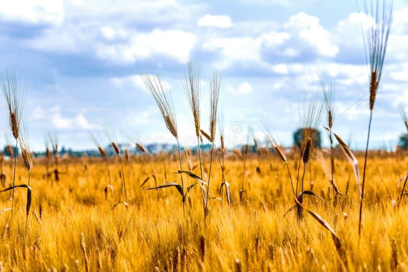 Уши в поле зеленой пшеницы стоковое фото