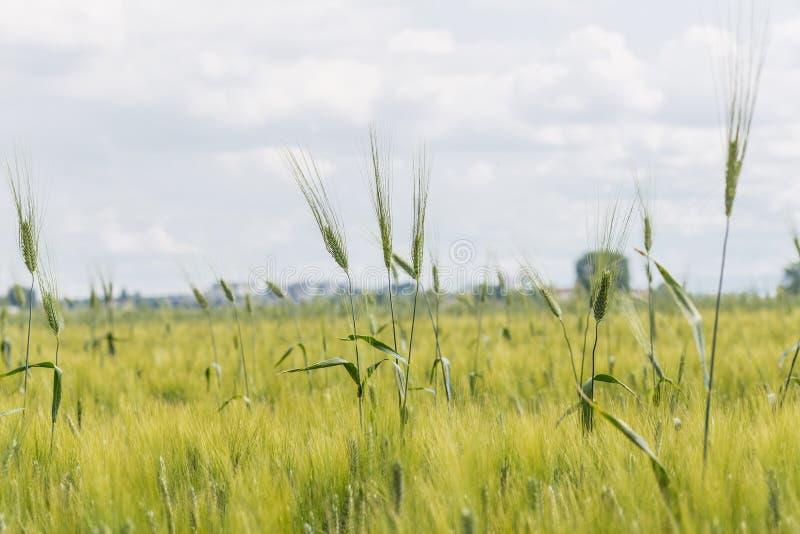 Уши в поле зеленой пшеницы стоковое фото rf