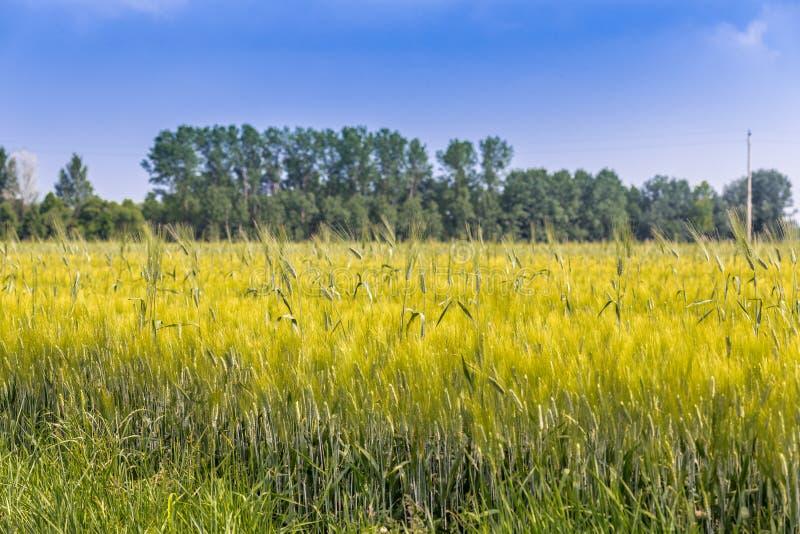 Уши в поле зеленой пшеницы стоковые изображения rf