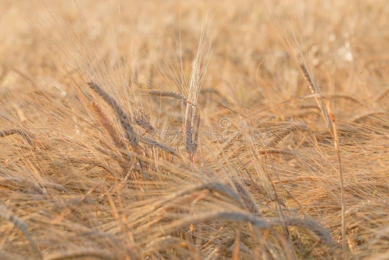 Уши желтого пшеничного поля стоковые фотографии rf