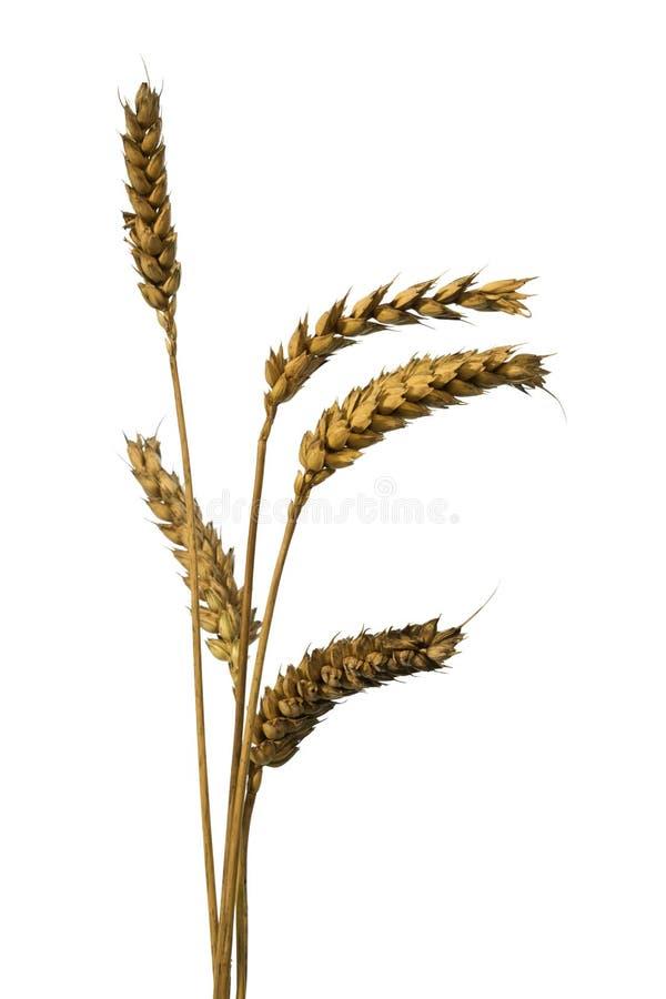 уши изолировали пшеницу стоковая фотография