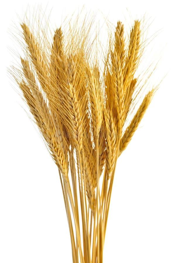 уши изолировали пшеницу стоковые фото