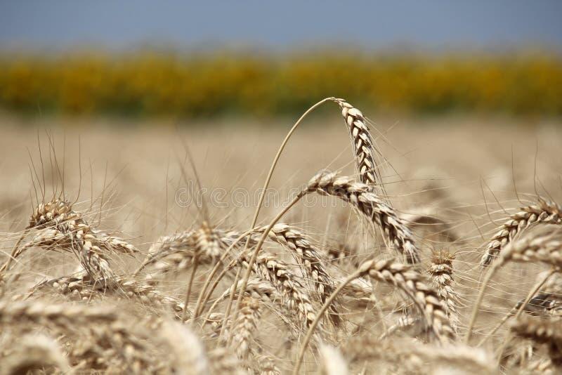 Уши крупного плана пшеницы против линии солнцецвета стоковые изображения