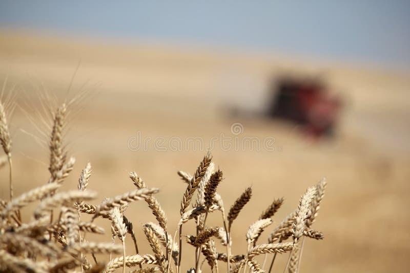 Уши крупного плана пшеницы с жаткой зернокомбайна стоковое фото rf