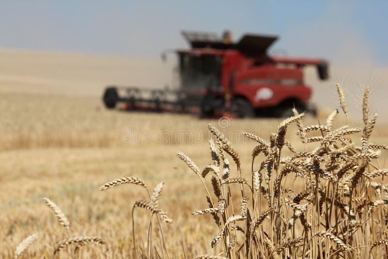 Уши крупного плана пшеницы с красной жаткой зернокомбайна стоковые фото