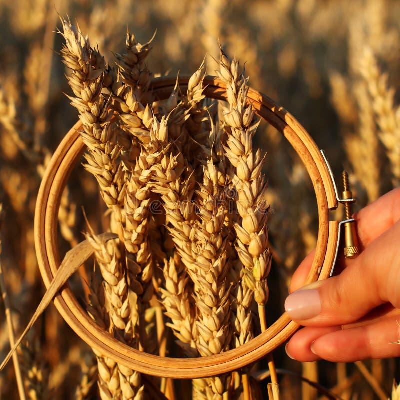 Уши пшеницы в обруче вышивки Поле на концепции сбора захода солнца воодушевленность стоковое изображение