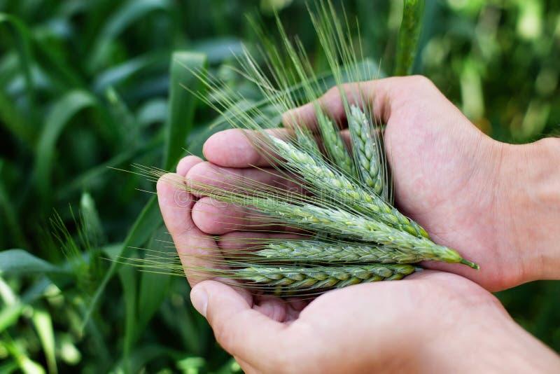 Уши пшеницы в руках человека Сбор, жать концепцию, молодой фермер в поле касаясь его ушам пшеницы Сохранность урожая Культивирова стоковые фотографии rf