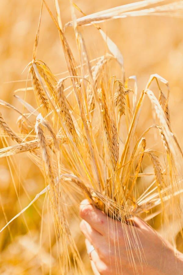 Уши пшеницы в руке стоковые изображения rf