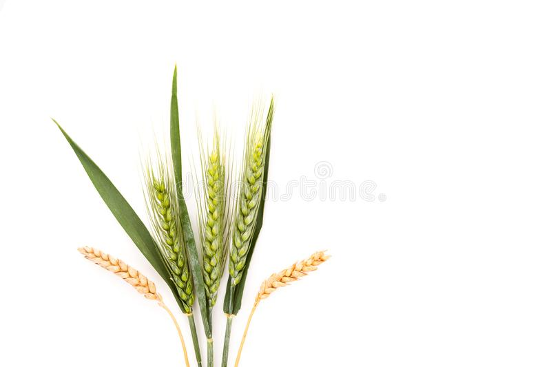 Уши пшеницы изолированные на белой предпосылке стоковые изображения